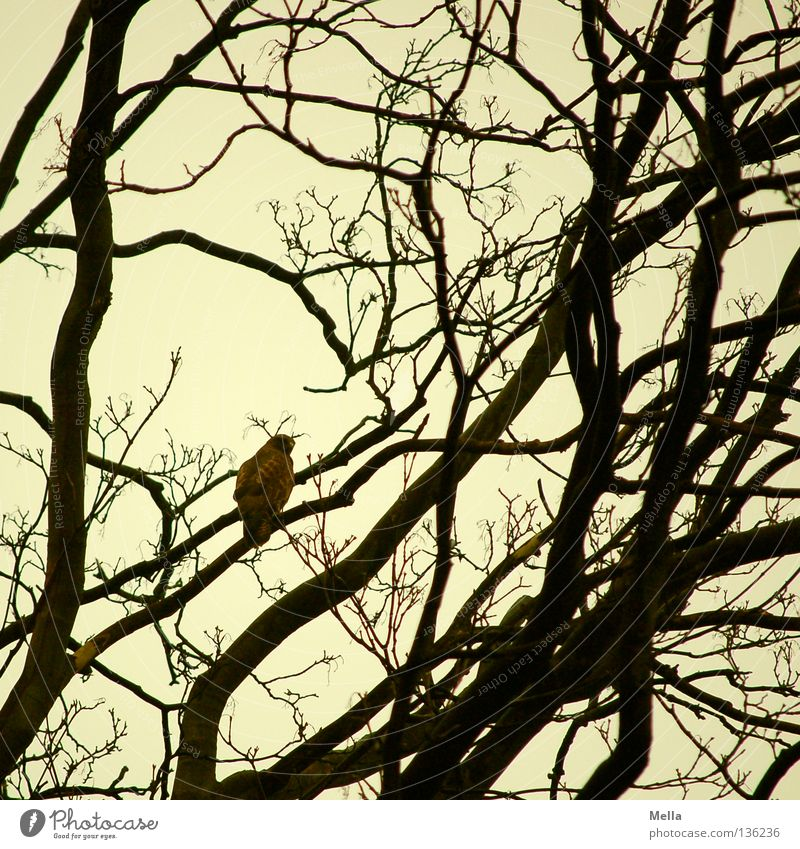 Buzzard Spring II Nature Tree Twigs and branches Animal Bird Hawk Common buzzard 1 Sit Environment Colour photo Exterior shot Day Silhouette Rear view Deserted
