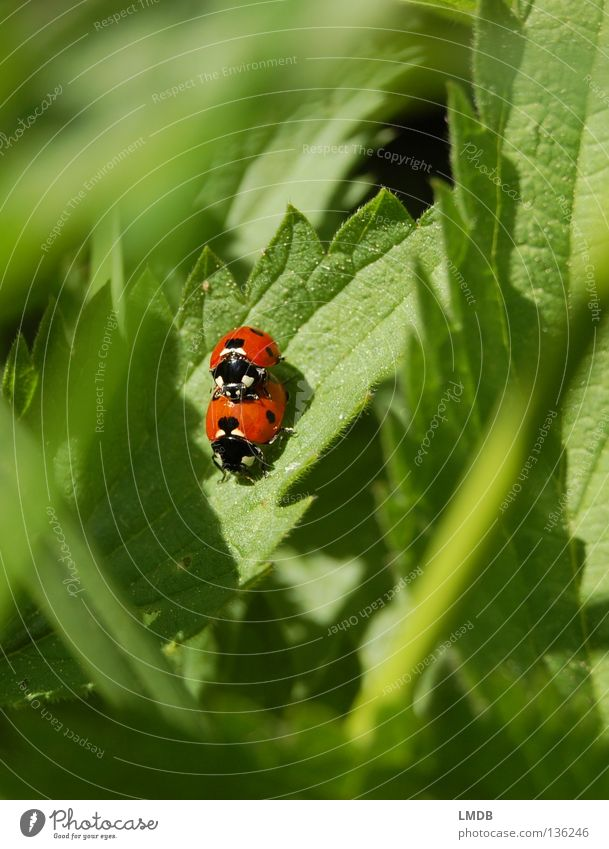 Sex on stinging nettles promotes blood circulation! Ladybird Red Green Grass Black Stinging nettle Leaf Blade of grass Dangerous Insect Spring fever Beetle