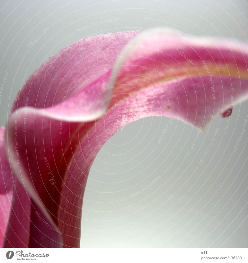 Nature White Beautiful Plant Flower Blossom Waves Elegant Pink Fresh Corner Decoration Lady Noble Edge Lily
