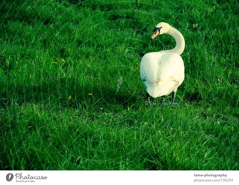 White Summer Animal Meadow Grass Bird Coast Elegant Walking Back Hind quarters Wing Rotate Neck Duck Noble