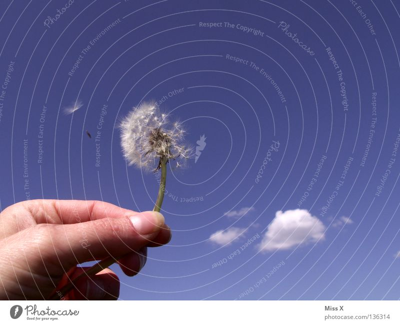 Something's flying. Colour photo Exterior shot Day Joy Summer Aviation Hand Fingers Sky Clouds Flower Flying Faded Blue White Dandelion Blow Departure Thumb