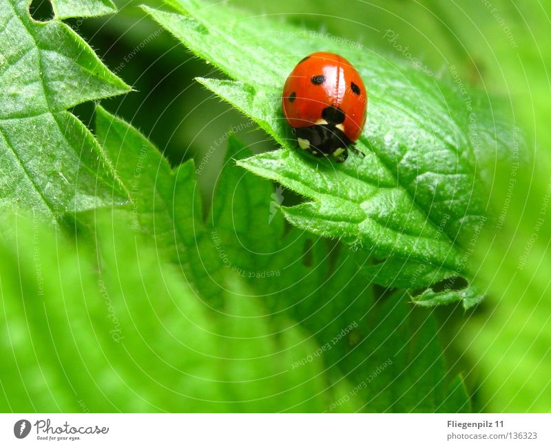 Ladybird on nettle Nature Plant Leaf Animal 1 To enjoy Natural Point Green Red Happy Contentment Calm Spotted Stinging nettle Insect Grass green Medicinal plant