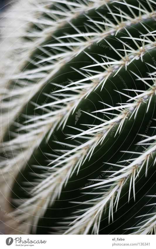 Green Plant Life Africa Desert Stripe Point Pain Dry Furrow Cactus Thorn