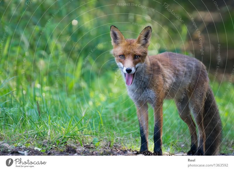 Fox I Nature Animal Summer Beautiful weather Grass Forest Wild animal 1 Observe Breathe Looking into the camera Green Forest animal Stand Free Tongue Wait