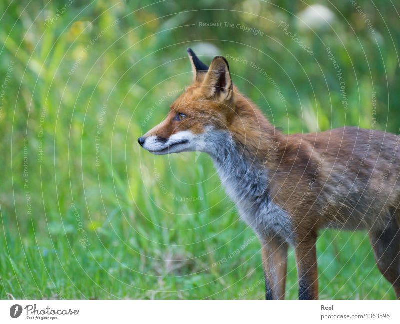 Fox II Nature Animal Summer Beautiful weather Grass Meadow Forest Wild animal 1 Observe Green Hunting Stand Forest animal Domestic Clearing Free Listening
