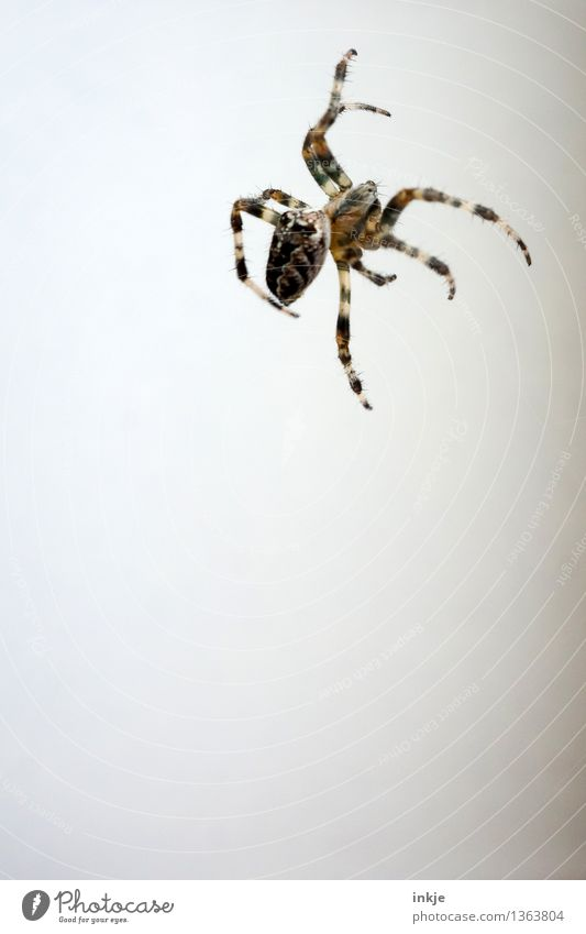 shadowless Facade Animal Wild animal Spider 1 Hang Crawl Thin Disgust Small Brown White Emotions Bright background Above Spider legs Colour photo Exterior shot