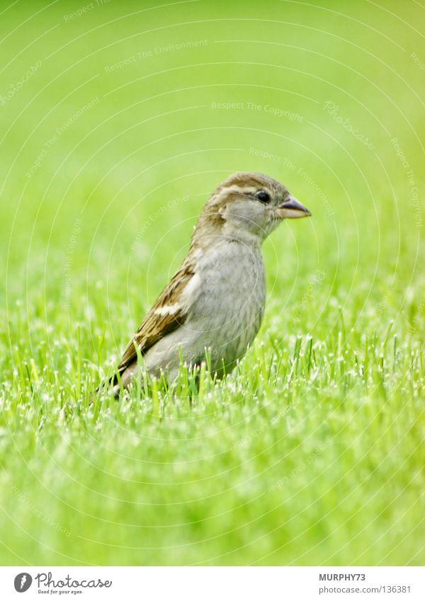 Green Animal Spring Gray Garden Bird Park Brown Feather Lawn Lady Beak Beige Sparrow
