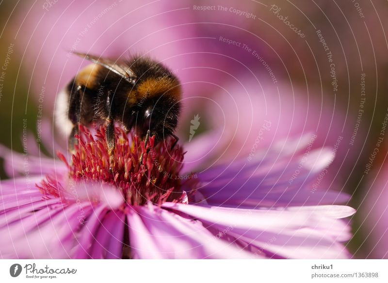 "autumn meal Nature Plant Flower Aster Garden Animal Wild animal Bumble bee Insect 1 Fragrance Delicious Yellow Violet Pink Black ""Garden bumblebee bomb Nectar"