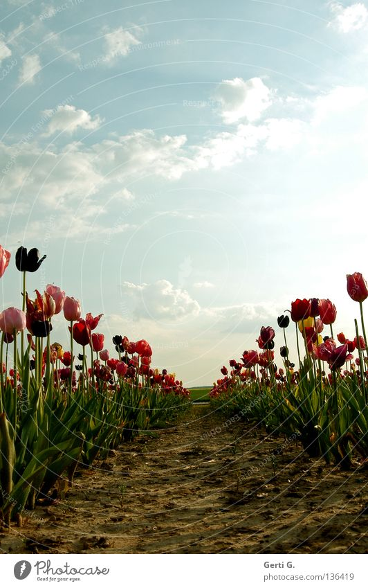 Sky Green Red Flower Clouds Loneliness Far-off places Lanes & trails Field Pink Bridge Perspective Multiple Peace Row Universe
