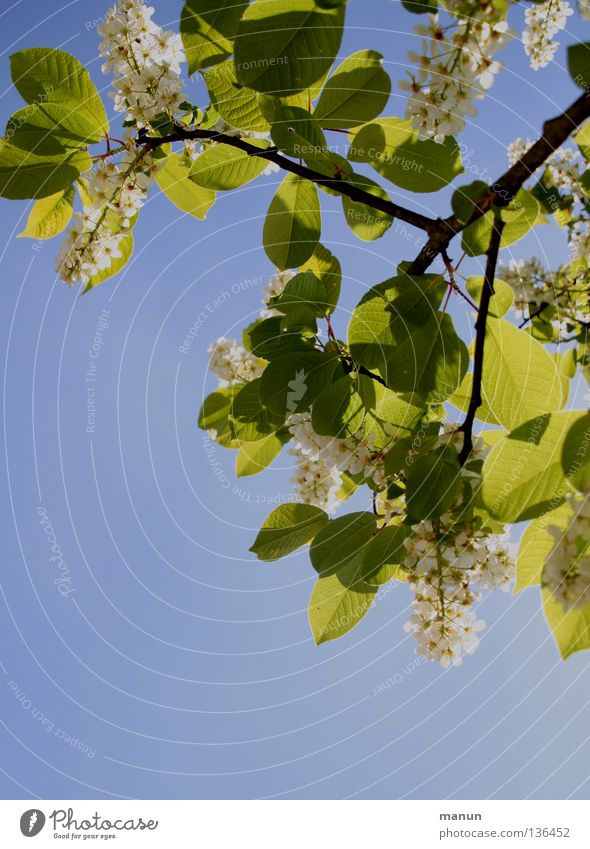 translucent Spring Tree Blossom Leaf canopy Back-light Sky blue Green Yellow White Physics Air Breeze Airy Park Bright Shadow tree blossom Blue Colour Twig