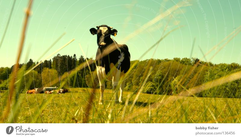Nature Green Summer Colour Spring Perspective Cow Seasons Pet Farm animal Beef Steak Vogelsberg