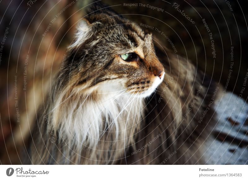 I see you! Animal Pet Cat Animal face Pelt 1 Bright Natural Soft Brown Green Hung-over Cat eyes Maine Coon Colour photo Multicoloured Exterior shot Close-up