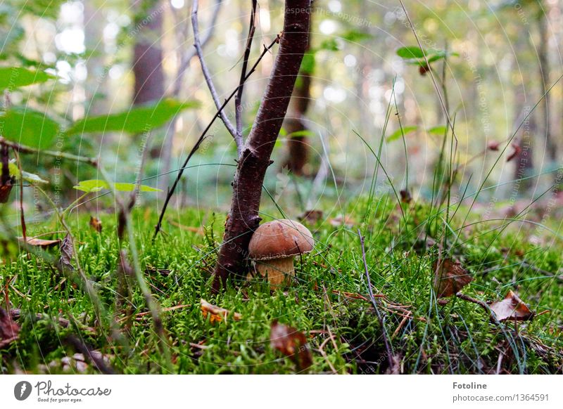 snuggle Environment Nature Landscape Plant Autumn Beautiful weather Tree Grass Moss Forest Natural Brown Green Mushroom Mushroom cap Colour photo Multicoloured