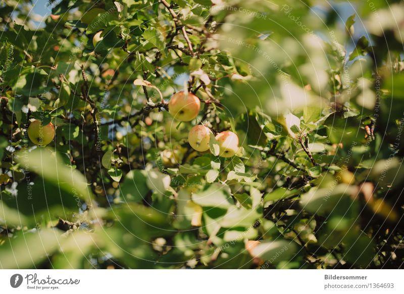 Nature Summer Tree Leaf Autumn Garden Fruit Nutrition Growth Beautiful weather Apple Apple tree Apple harvest Apple juice