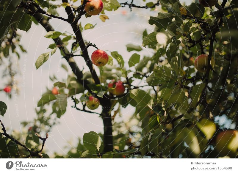 . Food Fruit Apple Nutrition Organic produce Nature Summer Autumn Tree Growth Seasonal farm worker Harvest Apple tree Apple harvest Early fall Leaf Juicy