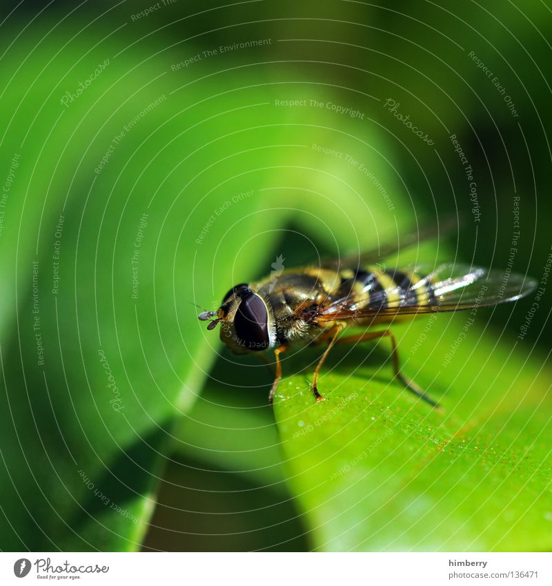 Nature Leaf Eyes Life Park Legs Fly Flying Wing Insect Zoo Living thing Hover Wasps Hover fly