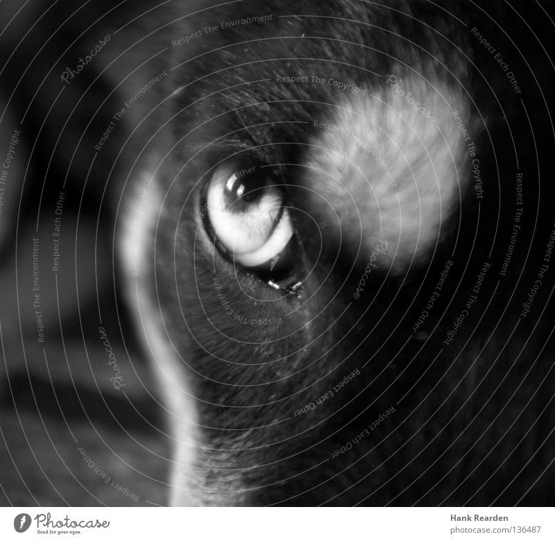 The flying sausage bread Dog Puppydog eyes Husky Animal Pupil Pelt Reflection Watchfulness Mammal Macro (Extreme close-up) Close-up Black & white photo Eyes