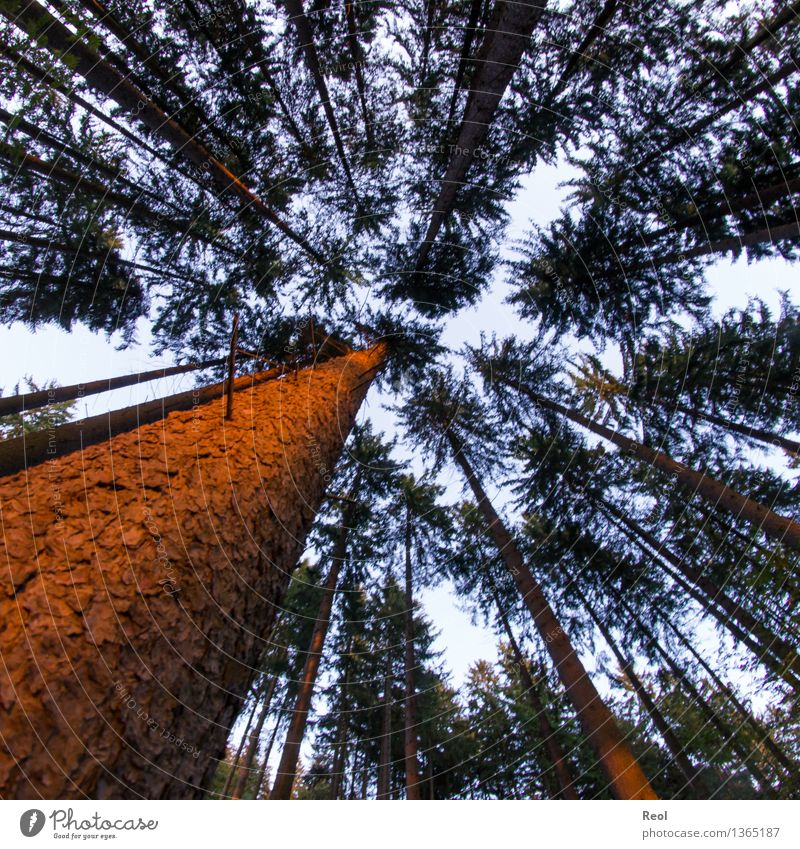 Evening forest Environment Nature Landscape Plant Elements Earth Sky Sun Summer Beautiful weather Tree Wild plant Tree trunk Tree bark Forest Coniferous forest