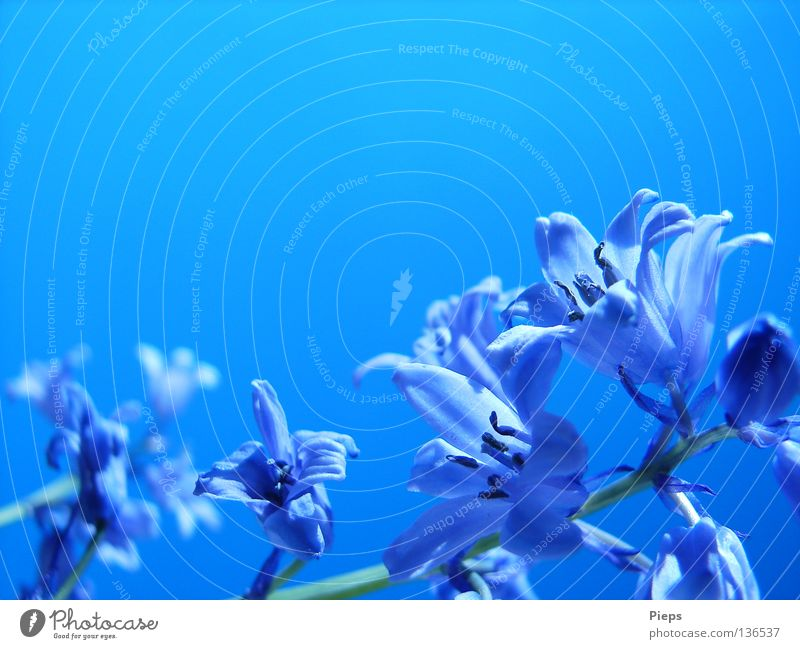 Sky Flower Blue Plant Joy Calm Life Blossom Spring Transience Blossoming Seasons May Blossom leave Play of colours Hyacinthus