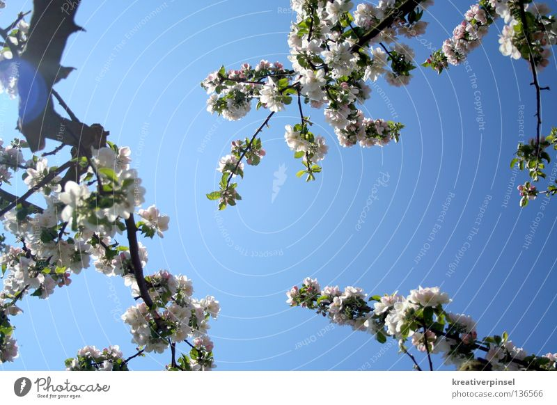 apple blossom Sky Tree Leaf Blue White Colour photo Worm's-eye view Branch Twig Branchage Blossoming Apple blossom Apple tree Patch of light Back-light Blue sky