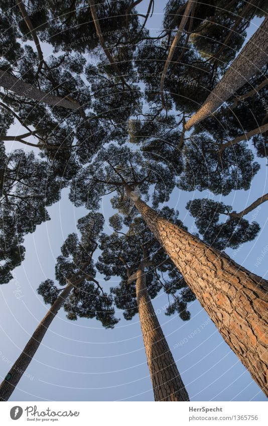 pine forest Sky Cloudless sky Beautiful weather Tree Forest Rome Italy Park Esthetic Tall Natural Stone pine Upward Perspective Treetop Tree trunk Colour photo
