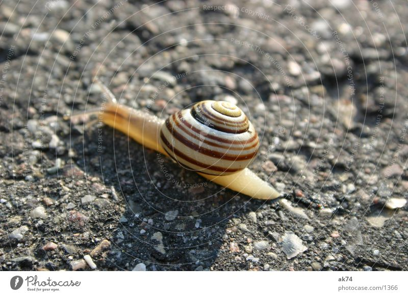 Snail on the way Asphalt Macro (Extreme close-up) Street Snail shell