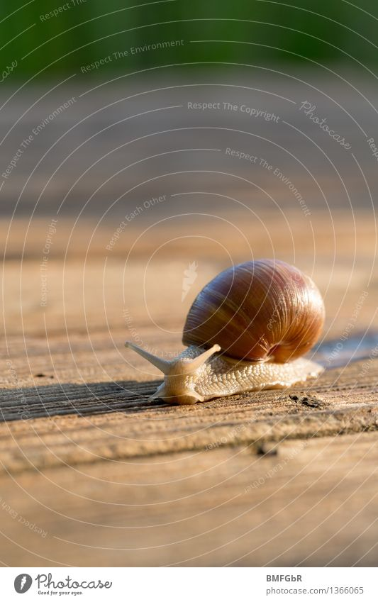 at snail's pace Nutrition Vineyard snail snails Environment Animal Snail 1 Sign Safety Protection Serene Patient Snail shell Withdraw Trust venture forth Effort
