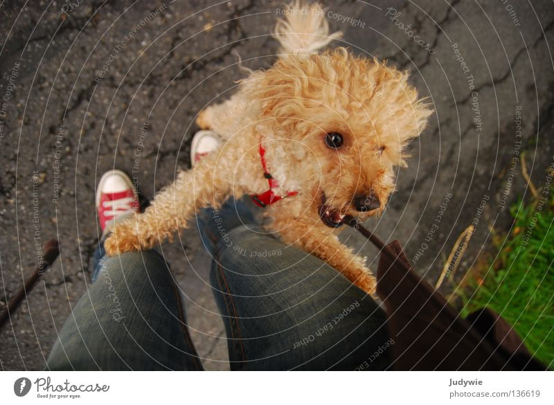 Poodle :) Colour photo Multicoloured Exterior shot Joy Playing Jacket Curl Wild animal Dog String Jump Small Brown Chucks Tails Curly Mammal dwarf l crazy
