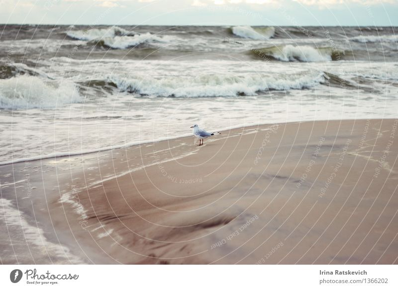 seagull Nature Landscape Water Sky Autumn Bad weather Storm Wind Gale Waves Coast Beach Bay Baltic Sea Ocean 1 Animal Cold Beautiful Seagull Colour photo