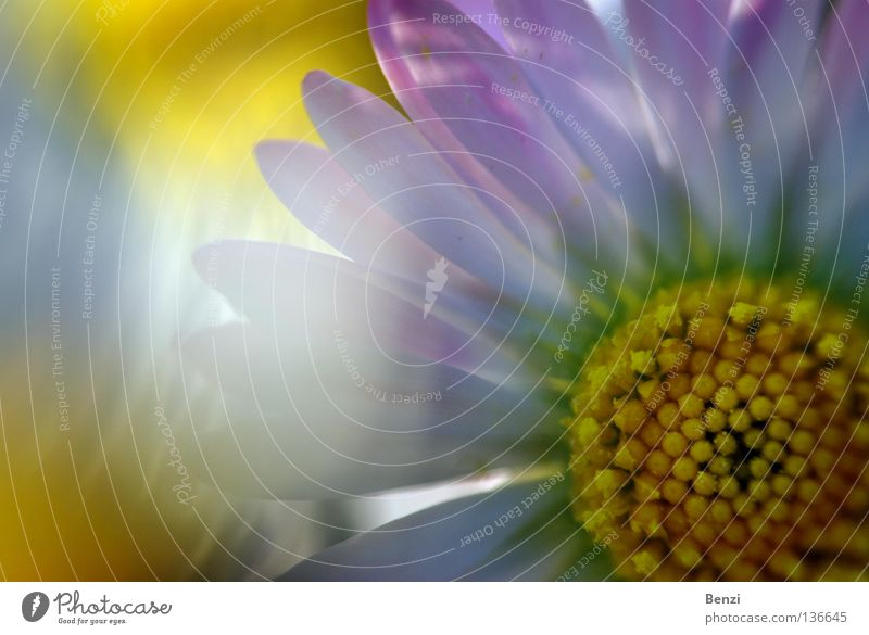 Radiant cheerful daisy Joy Life Harmonious Well-being Contentment Senses Relaxation Calm Meditation Fragrance Summer Sun Closing time Nature Plant Sunlight