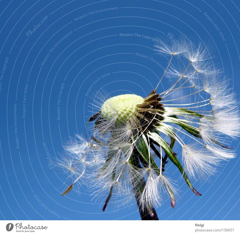 Dandelion, which is already missing many seeds, in front of a blue sky Flower Blow Multiple Sow Summer Spring May Plant Blossoming Meadow Wayside Growth Grown