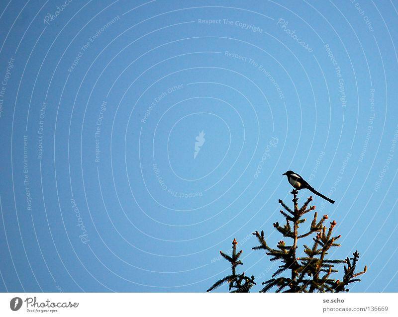 Sky Tree Blue Bird Treetop Guard Black-billed magpie