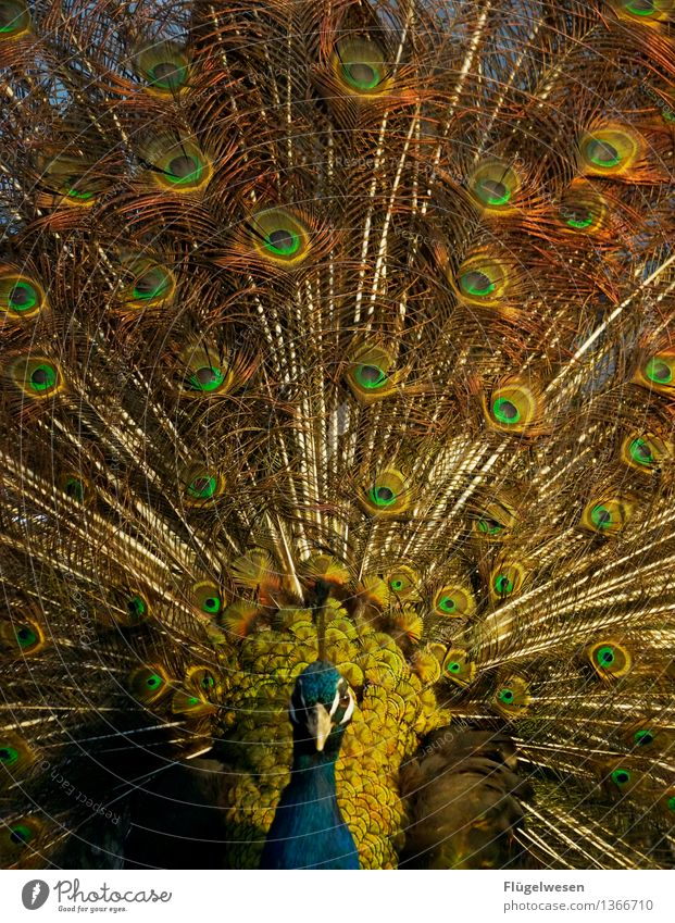 eyewitness Animal Zoo 1 Original Peacock Peacock feather Peacock mask Dye Colour Play of colours Colour palette Blaze of colour Splendid Multicoloured