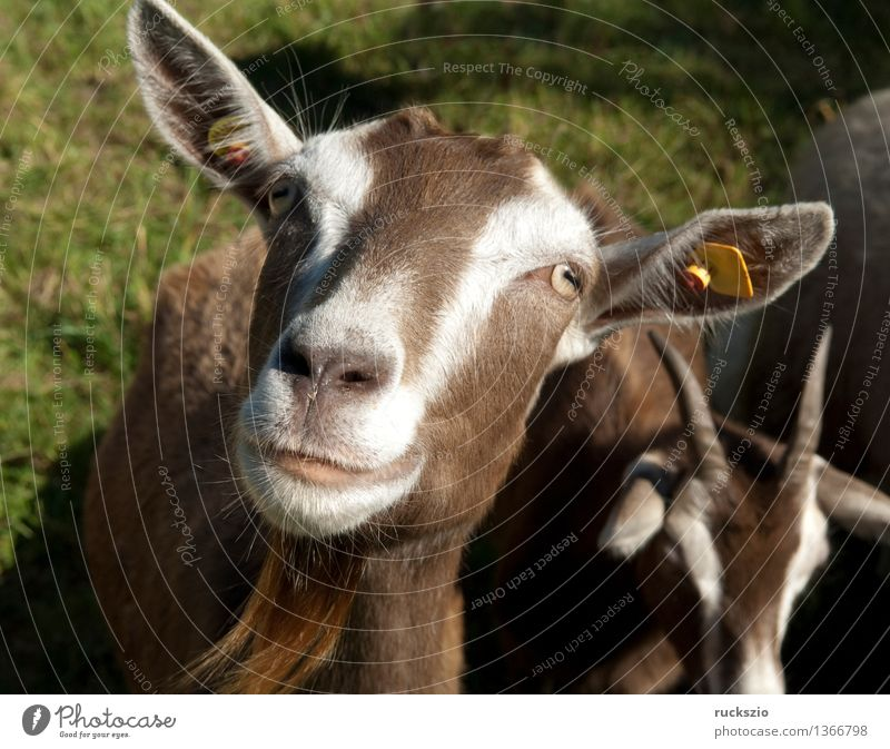 Animal Meadow Dangerous Threat Pet Mammal Farm animal Goats Thuringia Even-toed ungulate Swiss Goats