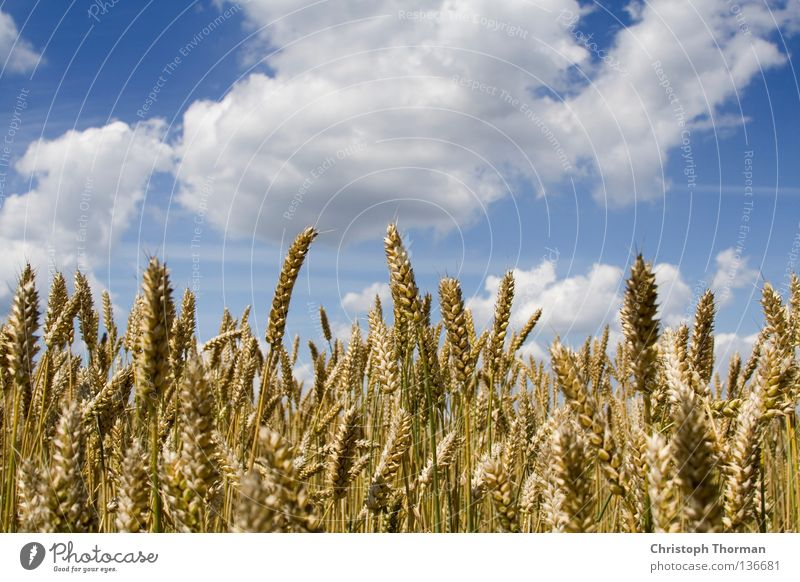 Sky Nature Blue White Summer Plant Clouds Far-off places Yellow Environment Field Gold Food Large Growth