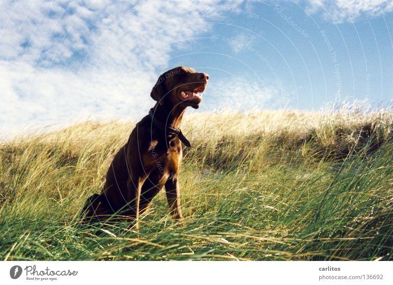 Dog Ocean Beach Grass Coast Waves Leisure and hobbies Walking Island Posture Beach dune Odor Mammal Senses Denmark Romp