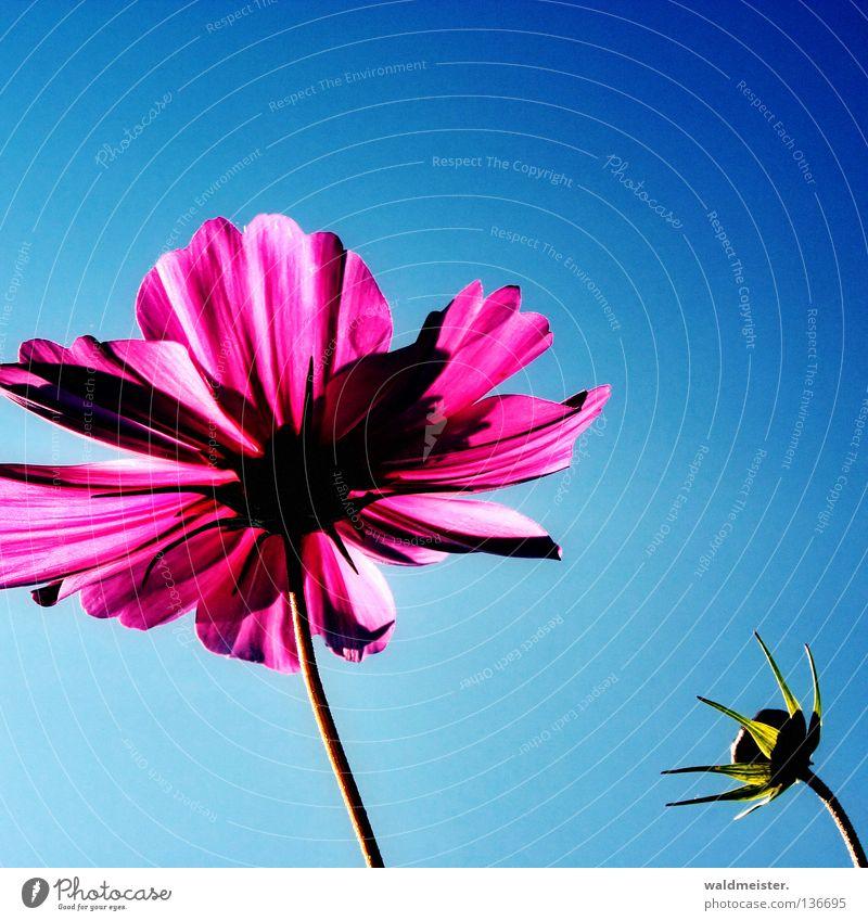 Beautiful Sky Flower Summer Blossom Park Esthetic Beautiful weather Bud Garden Bed (Horticulture) Blue sky Aster Cosmos Summerflower