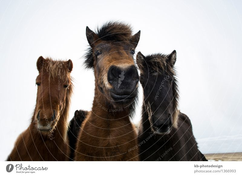 Curious Icelandic horses in spring Vacation & Travel Adventure Wild animal Horse 3 Animal Observe Iceland pony Iceland ponies snow weather Bangs ride mammal