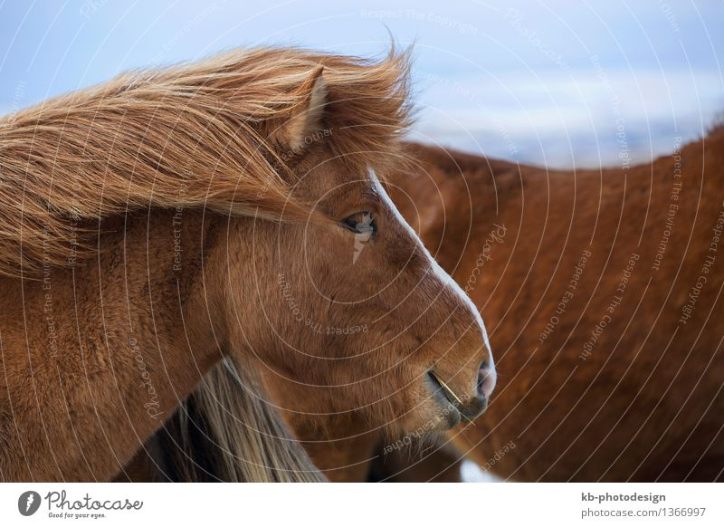Vacation & Travel Animal Winter Tourism Adventure Horse Iceland Animal face To feed