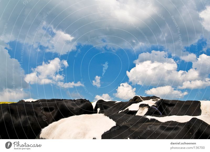 Sky Blue White Beautiful Clouds Black Weather Horizon Back Agriculture Cow Mammal