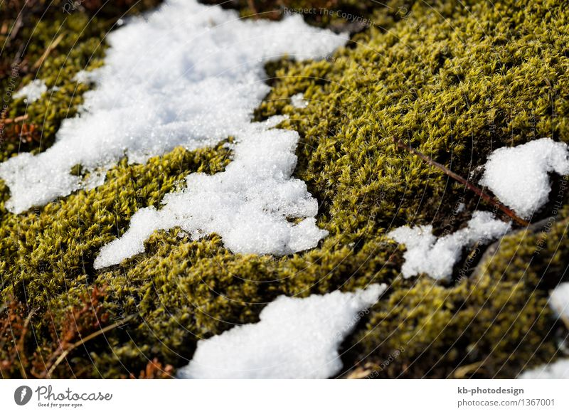 Closeup of fragile Icelandic moss in spring Winter Plant Snow Moss Growth plan field meadow enviroment awakening sun sunny volcano volcanoes stones rocks