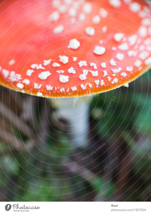 fly agaric Environment Nature Landscape Plant Elements Autumn Foliage plant Wild plant Exotic Mushroom Mushroom cap Amanita mushroom Meadow Forest Growth Red