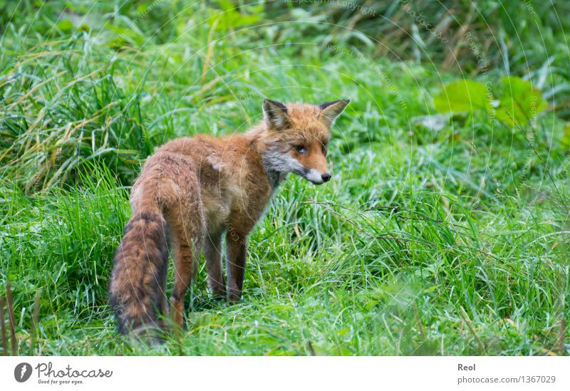 Fox III Nature Plant Animal Grass Meadow Forest Wild animal 1 Brown Green Red Hunting Red fox Watchfulness Free Tousled Pelt Colour photo Subdued colour