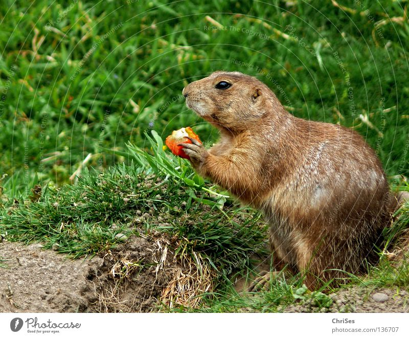 Prairie dog (Cynomys) Ground squirrel Marmot Rodent Dog Steppe Pelt Timidity Animal Mammal Americas Speed To feed Cave Green Gray Brown North America
