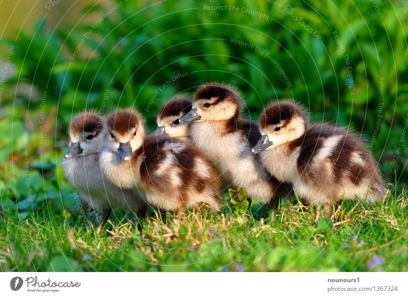 Little brother and sister Animal Wild animal Nile Goose Group of animals Baby animal Freeze Crouch Sit Fuzz Soft Chick Cute Meadow Protect move together Heat