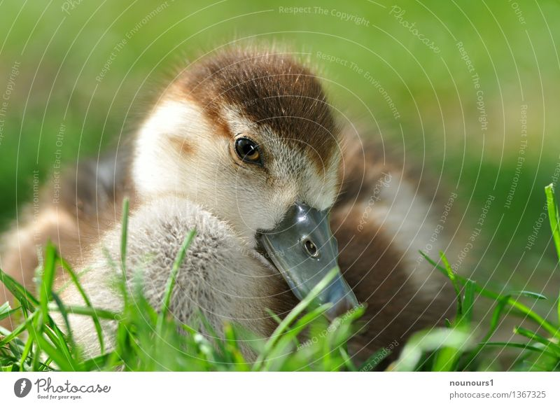 "Nile goose chicks in the meadow Animal Wild animal Animal face Nile Goose 1 Baby animal Crouch Sit Cuddly Natural Cute Brown Yellow ""fluffy Chick Nature Bird"