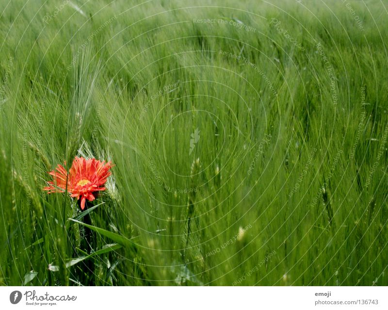 # Flower Red Patch of colour Animal Girlish Cornfield Field Wheat Wheatfield Middle Yellow Spring Summer Jump Happiness Sweet False Sounds of levity Kitsch