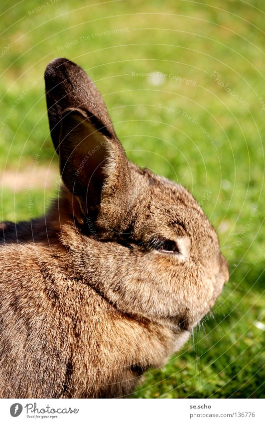mammoth Hare & Rabbit & Bunny Pygmy rabbit Pet Meadow Feed Summer's day Mammal female hare long-eared nibble Easter Bunny