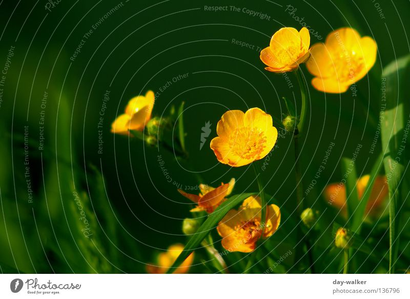 On the sunny side Crowfoot Plant Yellow Blossom Grass Blade of grass Lake Green Blossom leave Globeflower Nature Pollen Coast Escarpment Shadow reflection