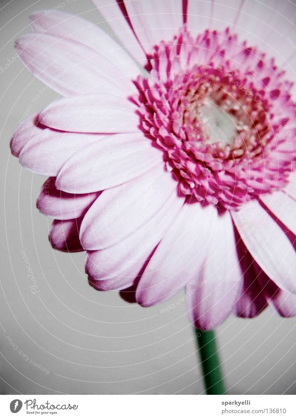Flower Plant Summer Blossom Pink Gerbera